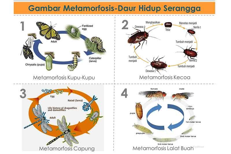 Apa Perbedaan Metamorfosis Sempurna dan Metamorfosis Tidak Sempurna?